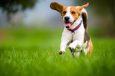 foto di beagle che salta