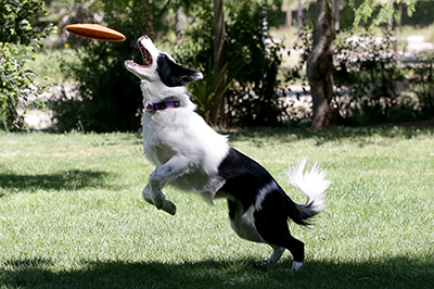 Immagine border collie con frisbee