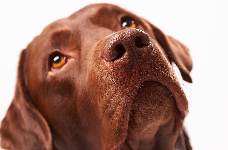 foto di labrador con artrosi